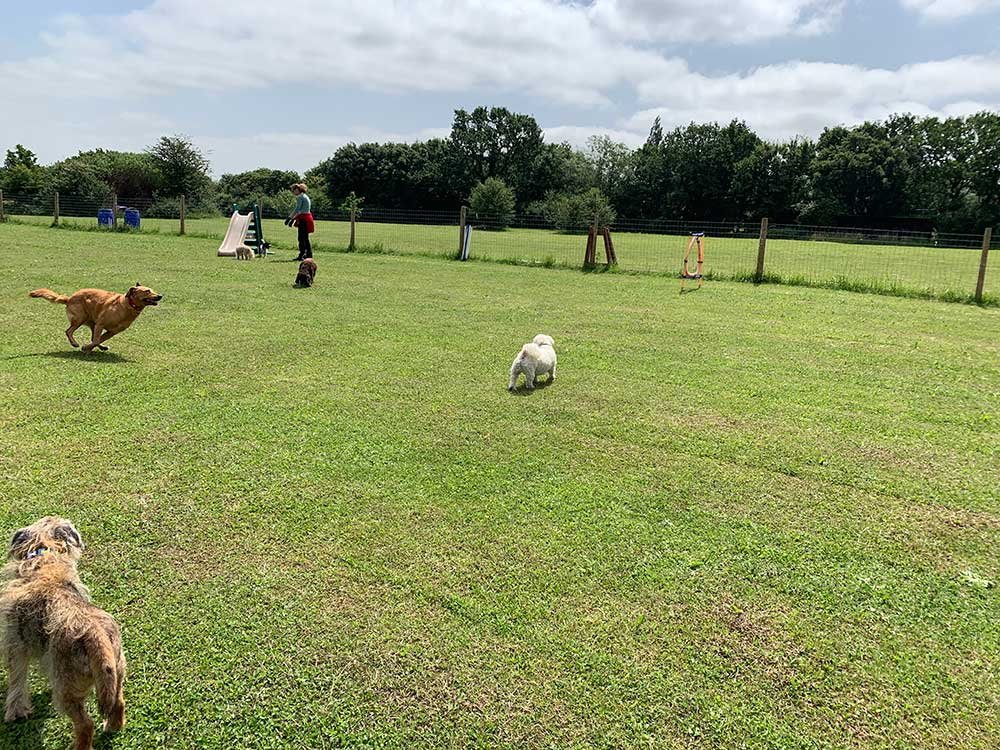 Dogs in field at Bella Paws daycare centre in Fobbing, Essex